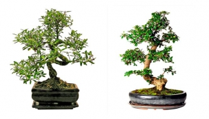 Bonsaje - malé velké stromy