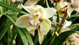 Miss orchidej, královská ozdoba bytu