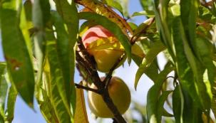 Stromy z pecek a jadérek
