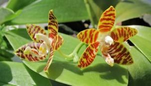 Drobný Phalaenopsis amboinensis pochází zIndonésie, znížinného deštného pralesa.