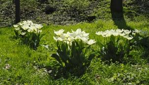 Tulipánům velice sluší výsadba do skupinek, ať už na záhon nebo do trávníku.