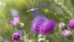 Může se nám jevit jako úmorný bezcenný plevel, ale patří mezi velmi užitečné rostliny. Ostropestřec mariánský je ceněný zejména pro svá jedlá aléčivá semena.