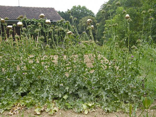 Může se jevit jako plevel, ale není to plevel. Na farmě na Hané dorůstá ostropestřec do výšky 1 až 2 m.