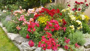 Smíšený růžový záhon vbarvách červených, oranžových ažlutých je pocelou sezonu vkvětu.