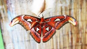 Motýl Atttacus Atlas, foto: Botanická zahrada Praha