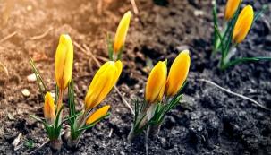Stejně jako šafrány vtrávníku na jaře přihnojte všechny cibuloviny plným hnojivem se zvýšeným obsahem fosforu. Ten zaručí, že příští rok opět rozkvetou.