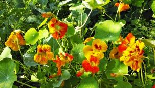 Lichořeřišnice je velmi dekorativní rostlina, kromě zeleninových salátů atinktur ji můžete využít také jako jednoletou popínavku naploty apergoly (má nejen keřovité poléhavé, ale hlavně popínavé odrůdy).