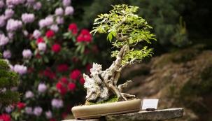 Až 100 let staré bonsaje jsou do 29. května k vidění v trojské botanické zahradě. Ta se může pochlubit nejstarší sbírkou dřevěných miniatur v České republice.