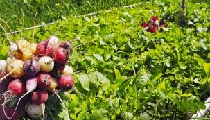 Ze záhonu vyrobeného letos může být veliká úroda, ale musíte počítat istrochou plevele, který je nutno vytrhat. Každým rokem to bude už jen lepší. Základním pravidlem je záhony už nikdy nerýt anešlapat naně.