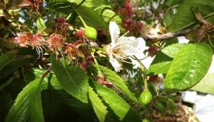 Kdo by se netěšil na zralé třešně. Trhat je plnými hrstmi, kousat anechat si ústa zalít úžasnou sladkou chutí! Co udělat, aby třešeň byla zdravá, žila déle askýtala nám ono potěšení pravidelně?