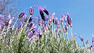 Květenství, plodenství alisty levandule zahánějí obtížný hmyz.