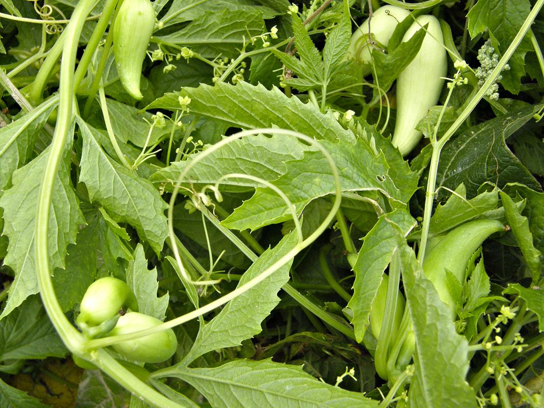 Úponky ačokči dokáží vyšplhat až do výše šesti metrů. Můžete ji pěstovat na opoře, u zdi domu činaplotě. Z malého záhonku sklidíte dostatek plodů na celou zimu.