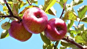 Pokud jste se o stromy v průběhu roku dobře starali, zářijová sklizeň stojí za to. Jak ale poznat, kdy ovoce očesat, aby ve sklepě vydrželo až do jara? Radí Jaromír Frič.