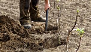 Navýsadbě stromku se zdánlivě nedá nic pokazit. To je ale dojem, který plyne z neznalosti věci.