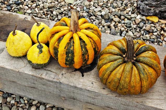 Okrasná tykev ´Kamo Kamo´ je charakteristická výrazným oranžovým žebrováním. Dorůstá váhy kolem 600–800g.