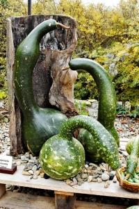 Elegantní tykev Lagenaria siceraria ´Cobra´ je malé umělecké dílo. Dříve se zplodů vyráběly nádoby, dnes slouží jako ozdoba vzeleném iusušeném stavu.