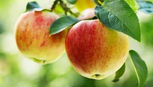 Jablka jsou jedním z výživově i chuťově nejpestřejších ovocných druhů, které nám naše klimatické pásmo může nabídnout.