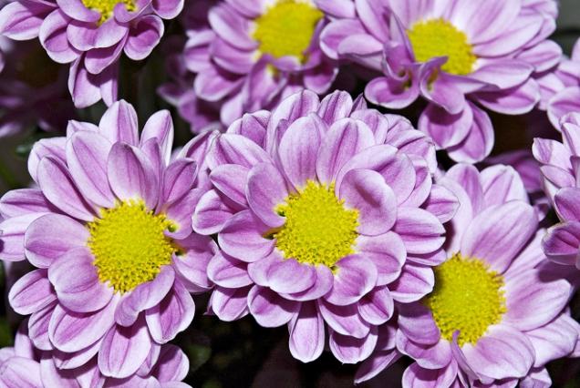 Chrysanthemum ´Bringhton Pink´
