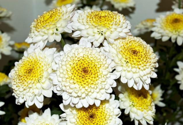 Chrysanthemum ´Cappuccino´