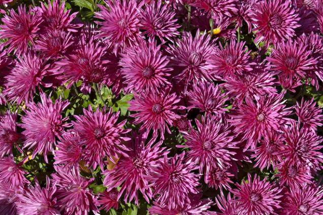 Chrysanthemum vyšlechtěné v Průhonicích