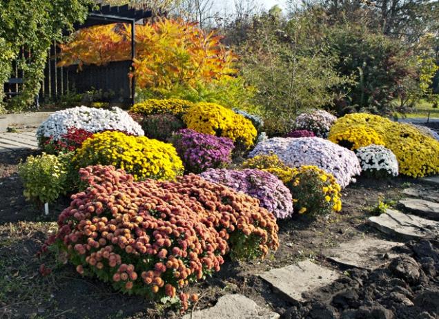 Barevná záplava podzimních květů vynikne vkombinaci sokrasnými trávami.