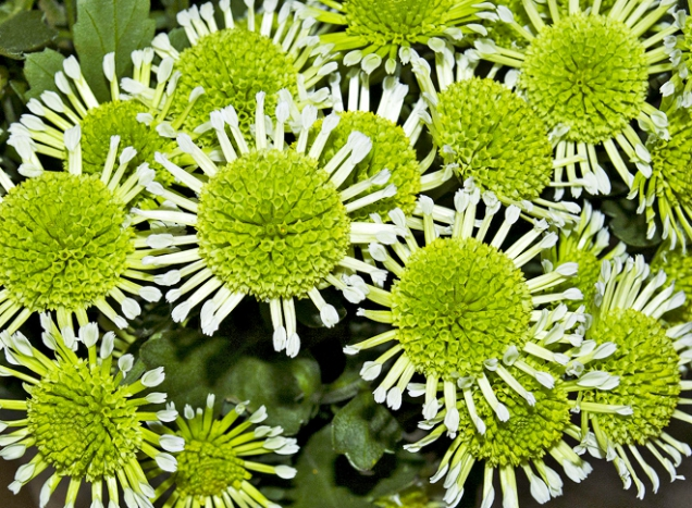 Chrysanthemum ´Energy´
