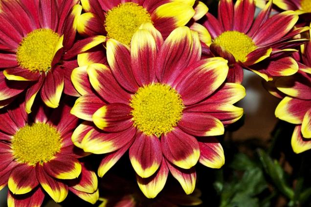 Chrysanthemum ´Timman Yellow´