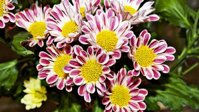 Chrysanthemum typu Santini ´Zebra´