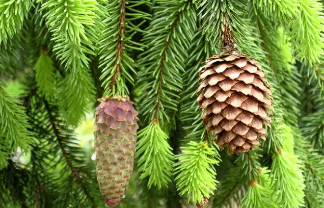 Smrk ztepilý (Picea abies) – výška 20–30m, šířka 5–7m. Nesnese znečištěné ovzduší, vydrží ve stínu. Zakrslé odrůdy např. kuželovitý 'Barryi', kulovitý 'Globosa nana', hnízdovitý 'Nidiformis'.