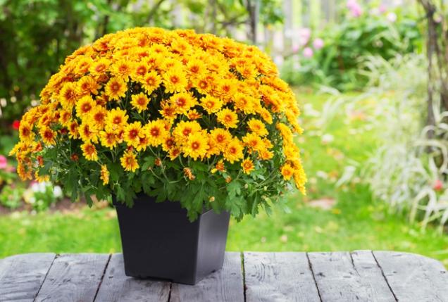 Jednoduchou dekorací na zápraží, balkonu či terase v listopadu je listopadka neboli chryzantéma.