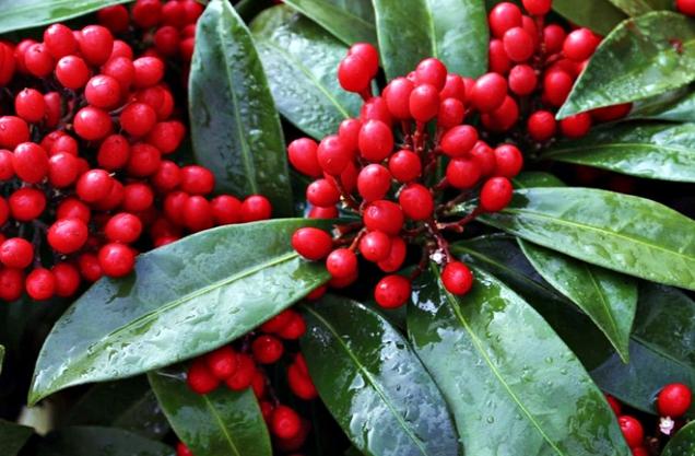 Zimní záhony ivánoční aranžmá rozzáří červené peckovice skimie (Skimmia). Stálezelený keřík pro teplé polohy, vyžaduje stín až polostín, kyprou, výživnou stále vlhkou půdu ana zimu zasypat listím srašelinou. Kvete vkvětnu až červnu. Chcete-li plody, musíte (kromě druhu S. japonica 'Reeversiana')vysadit samčí isamičí rostlinu.