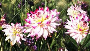 """Dahlia ´Monet´ má bílý základ, který je od špiček """"napouštěn"""" růžovou barvou."""