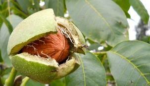 Zjednoho dospělého stromu lze zarok získat až 70kg plodů. Ořechy vyloupejte zoplodí anechte vyschnout. Zelené ořechy nanakládání sklízejte vestadiu, kdy je lze propíchnout dřevěnou špejlí. Listy aslupky jsou zdrojem přírodního hnědého barviva, zmízy se vaříval cukr. Kvalitní olej nalézá využití vpotravinářství. Ořechové dřevo bylo vždy velmi ceněné. Bylo tím hodnotnější, čím více mělo suků. Vyráběly se zněj dýhy apažby pušek.