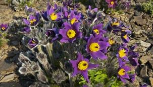 Zahradní hybridy konikleců naskalce vyniknou, zvláště pokud máte více trsů vjemné škále barev odrůžové potemně fialovou.