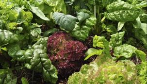 Kombinace více listových druhů zelenin na jednom záhoně. Všimněte si našeho oblíbeného mulčování štěpkou z větví listnatých dřevin, dělá zázraky.
