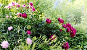 Nádherně barevné květy pivoněk většinou rozkvétají vkvětnu avprvních červnových dnech. Bývají označovány jako symbol blížícího se léta.