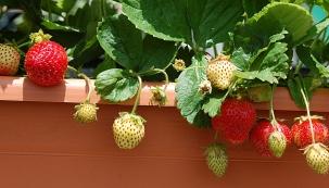 Popínavé jahody jsou nejčastěji reprezentovány odrůdami 'Mara de bois',  'Super star', či 'Everest'. Výhodami jsou nenáročnost, vysoká odolnost vůči plísním, slunečnímu úpalu apři dobré půdě ivysoký výnos.