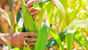 Vnížinách již od konce července sklízejte mléčně zralé klasy cukrové kukuřice. Nejlépe odrůdy: Adika F1 nebo Afrodita nebo supersladká Aranka F1. Sklízejte vobdobí, kdy jsou semena plná, měkká, smléčnou šťávou aokamžitě zkonzumujte. Klasy zamrazujte jen vsuknicích ze zelených listenů, nejdéle vydrží 6 měsíců.