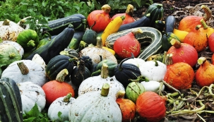 Dýně ajiné tykvovité rostliny nejlépe ze všech zelenin zvládají nerozložený hnůj. Jsou hlavními kandidáty prvních tratí.