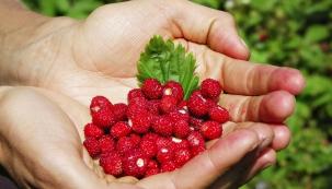 Jahody – symbol začínajícího léta – patří kjednomu znejchutnějších druhů drobnoplodého ovoce. Lesní jahody jsou sice malinkaté, ale oto lépe chutnají. Již jen prožitek vychutnávání patří ksamotné léčbě.