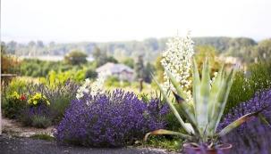 Stříbřité keříky levandulí sfialkově modrými květy míváme spojené převážně soblastí Provence. Ale iunás se levanduli daří. Dokazují to kromě jiného ipražské farmářské trhy.