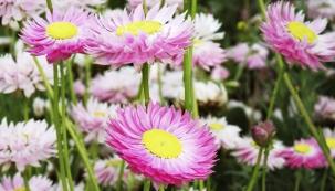 Smilek růžový patří ktradičním slaměnkám pro svou jemnost asladce růžovou barvu. Je však křehčí arychleji ztrácí barvu než robustnější atvrdší smil listnatý.