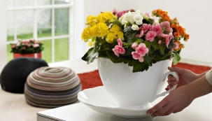 Vinteriérech se nejčastěji pěstují begonie zdobné listem, naopak truhlíky krášlí květy všech barev avelikostí.