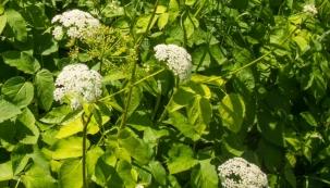 """Máte-li chuť na něco zdravého, přirozeného, jednoduchého a maximálně nízkorozpočtového, zkuste """"špenát"""" z bršlice, trvalky, kterou většina z nás považuje za nepříjemně odolný plevel. Má vysoký obsah vitamínu C a naši předkové ji využívali jako léčivou rostlinu, která může kromě jiného ulevit od bolesti."""