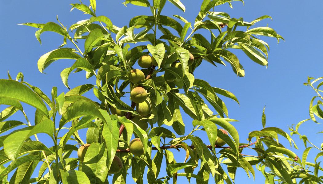 Letní očkování ovocných stromů