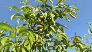 Chcete vyměnit starší odrůdu ovoce na vašem stromě za nějakou chutnější? Jednou z cest k tomuto cíli je přeočkování. Stejným postupem můžete zachránit starou odrůdu usychajícího stromu, o kterou nechcete přijít.  Naočkujete ji na vhodnou podnož a vypěstujete nový stromek. Teď je na to pravý čas.