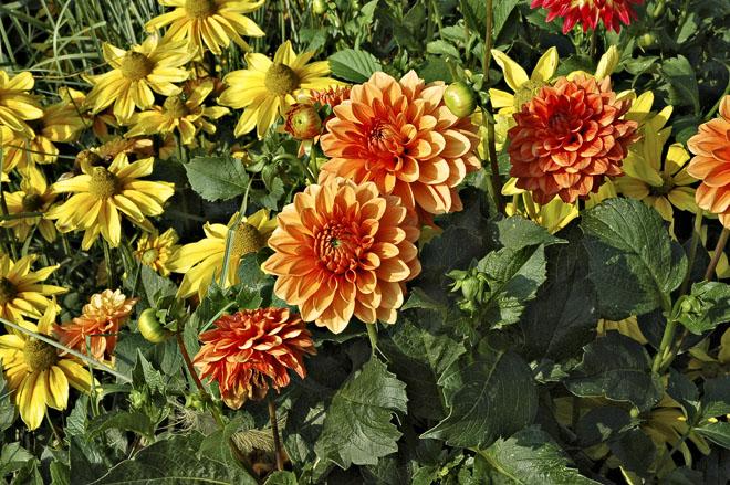 Je nejvyšší čas vyrýt ze záhonů hlízy rostlin, které u nás zimu nepřežijí, jako jsou jiřiny (Dahlia), mečíky (Gladiolus), montbrécie (Crocosmia), kaly (Zantedeschia), dosny (Canna) a další. Hlízy očistěte a uložte do chladného temného prostoru, kde se teploty budou pohybovat kolem 5 °C.