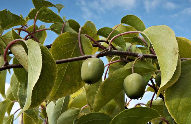 Exotem našich zahrad je drobnoplodé kiwi (Actinidia arguta), které změkne a zesládne těsně před mrazy během října. Plody jsou skvělé čerstvé, je ale možné z nich připravit i velmi dobrou marmeládu nebo kompot.