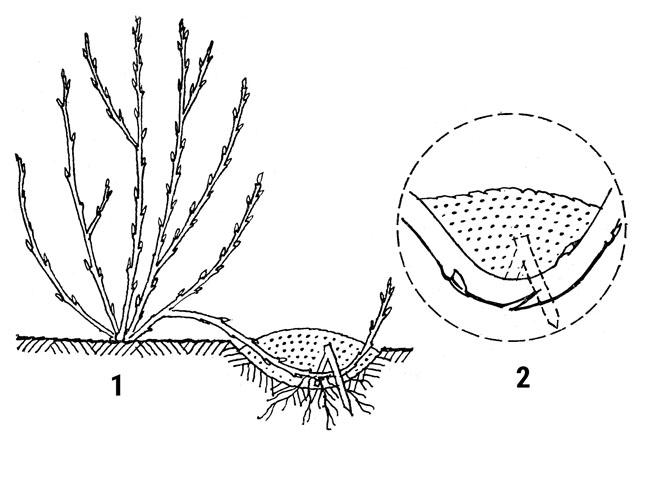 Schéma správného hřížení: 1. Výhon ohněte, přiháčkujte a zasypte zemí; 2. Vytváření kořenů napomůžete zářezem na spodní straně výhonu.