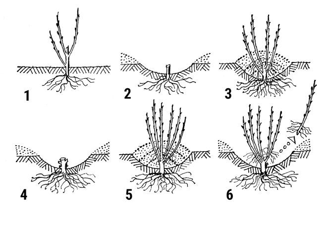 Množení oddělky: 1. matečnou rostlinu nechte zesílit, 2. a 4. pozdější seříznutí po výsadbě na jaře, 3. a 5. seříznutí na podzim, 6. odhrnutí matečné rostliny a odběr oddělků, 7. oddělek